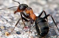 Процедура уничтожения муравьев специальными организациями