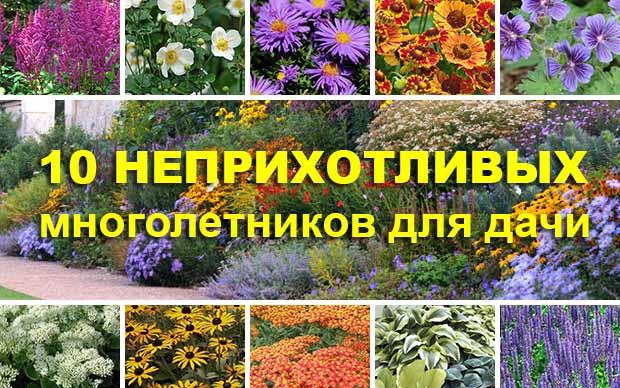 Многолетние цветы пионерки
